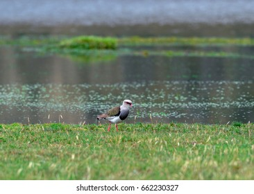 Andean Lapwing in the Cotopaxi national park, Ecuador
