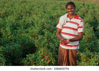 Andhra Pradesh,India,January 27,2011: Portrait of unidentified local farmer smiling  with traditional dress holding chillies,pepper crop yield in his farm, Andhra Pradesh ,India ,Asia