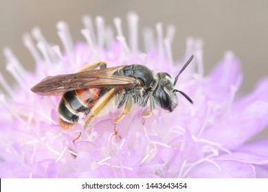 Andrena hattorfiana, a threatened species of mining bees belonging to the family Andrenidae, feeding on Field Scabious,Knautia arvensis