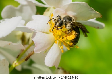 Andrena Mining Bee collecting nectar from a white flower. Taylor Creek Park, Toronto, Ontario, Canada.