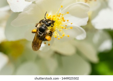 An Andrena Mining Bee is collecting nectar from a white flower. Taylor Creek Park, Toronto, Ontario, Canada.