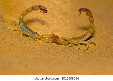 Androctonus sp. mating dance, Desert National Park, Rajasthan