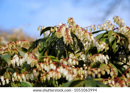 Andromeda fetterbush pieris formosa clusters small stock photo edit andromeda or fetterbush pieris formosa with clusters of small white bell shaped flowers against mightylinksfo