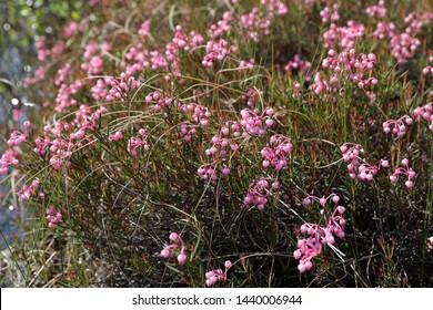 Andromeda polifolia. Blooming of bog rosemary in the North of Western Siberia