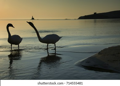 Andros island, Greece/Swans in the sea