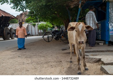 Anegundi, Karnataka / India - July 10 2019: A small cow on a road in small village in south India on a summer afternoon