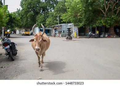 Anegundi, Karnataka / India - July 10 2019: A cow on a road in small village in south India on a summer afternoon
