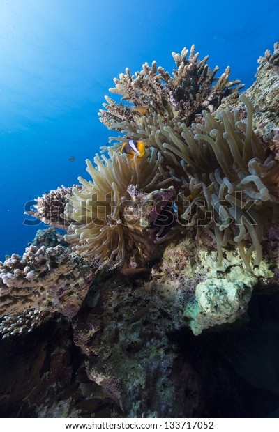 Anemoe in the tropical waters of the Red Sea