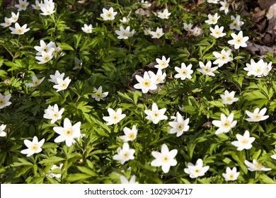Anemone Asherah (Wood anemone, Anemone nemorosa) in spring, lovely white flowers, white curtain fresh flowers. Great spring. May of youth. Spring clothed earth with verdure and delicate flowers