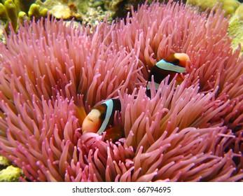 anemone clown fish