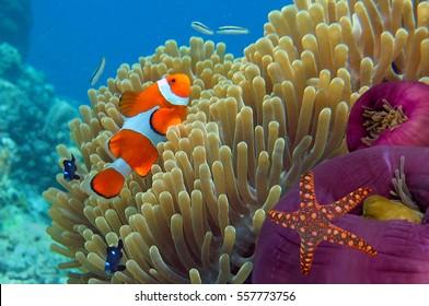 Anemone and Clownfish close-up. Ko Tao island, Thailand.