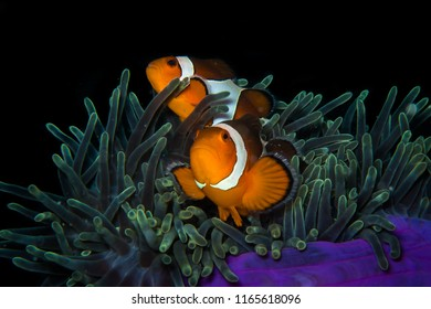 Anemone clownfish family, Amphiprion ocellaris, hiding in sea anemone. Andaman sea , Thailand