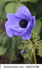 Anemone (Anemone coronaria)