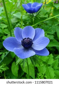 Anemone coronaria Mr Fokker Blue Flower