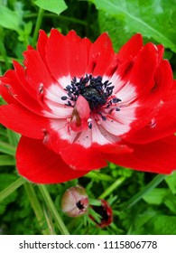 Anemone coronaria Red Double Flower The Governor