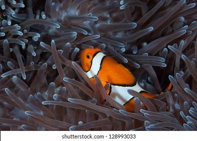 anemone fish