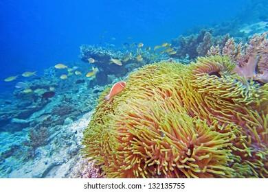 anemone and anemone fish