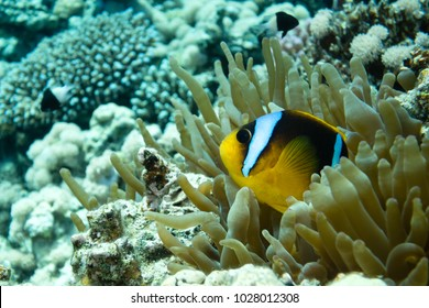 Anemone fish (Amphiprioninae) in the Red Sea