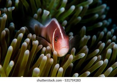Anemone fish in Bali, October 2016.
