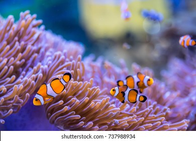 Anemone fish (Clown fish)with anemone,Sea anemone and clown fish in marine aquarium.