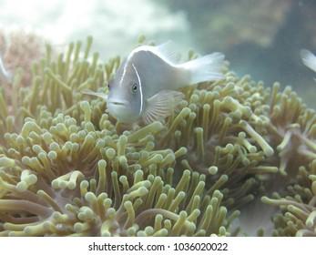 Anemone fish found at coral reef area at Tioman island, Malaysia