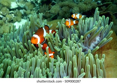 Anemone Fish hide in green coral