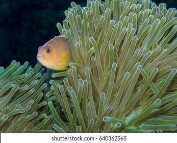 anemone fish hide in yellow sea anemone