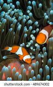 An anemone fish nestled into an anemone in the Solomon Islands
