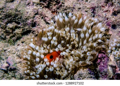 Anemone fish (or, Clownfish) hiding in sea anemone disc coral in the ocean-image