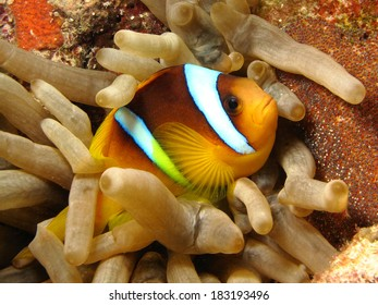 Anemone fish - Picture was taken in the Red Sea
