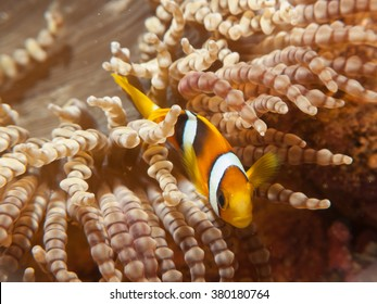 Anemone fish resting on anemone / Maldives