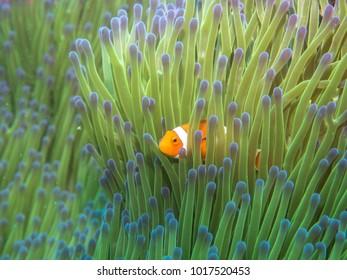 Anemone fish with Sea Anemone, Philippines