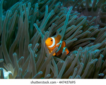 anemone fish at underwater