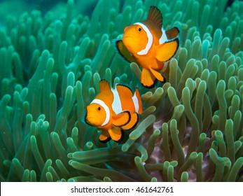 anemone fish at underwater, philippines