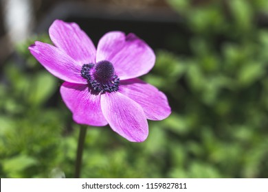 Anemone flower macro shot