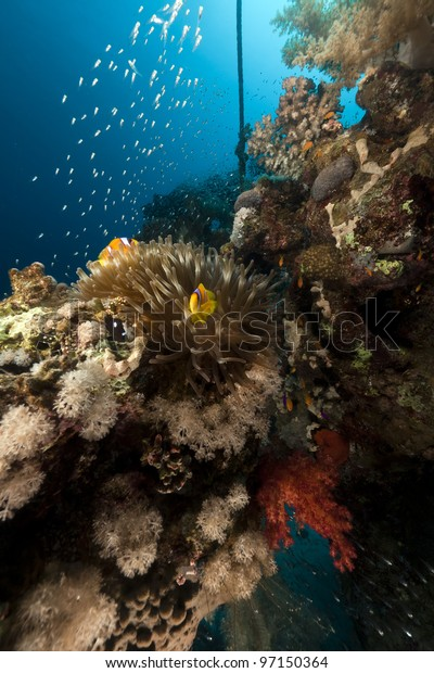 Anemone and glass fish in the Red Sea