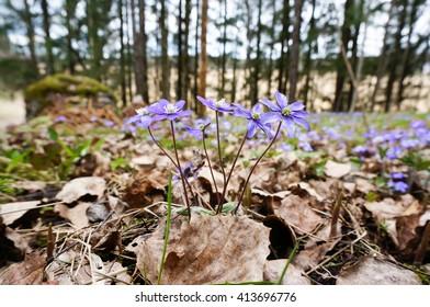 Anemone hepatica (Hepatica, liverwort,kidneywort, pennywort). Wild flowers in forest. Early spring flower in Finland