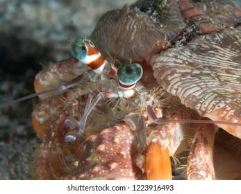 Anemone hermit crab in Bohol sea Philippines