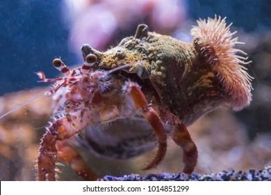 Anemone hermitcrab in water