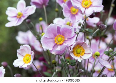 Anemone hupehensis japonica, Chinese anemone, Japanese anemones, thimbleweed, windflower in bloom