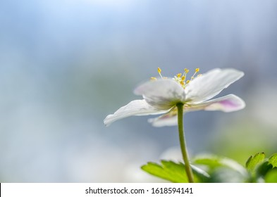 Anemone nemerosa, macro of a beautiful spring forest flower. Wood anemone (Anemone nemorosa) flower with soft focus. View of magic blooming spring flowers growing in wildlife.