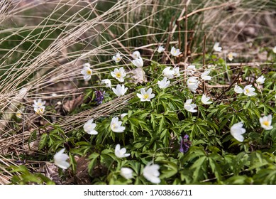 Anemone nemorosa flower in the forest in the sunny day. Wood anemone, windflower, thimbleweed. Fabulous green forest with blue and white flowers. Beautiful early spring forest landscape. Forest floor