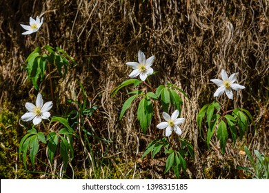 Anemone nemorosa. Anemone of the forests. Wood anemone. Plants with white flowers.