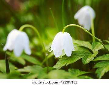 Anemone nemorosa with a water droplet. Common names include wood anemone, windflower, thimbleweed, and smell fox. It is an early-spring flowering plant. Image has a vintage effect applied.