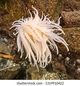 Anemone organism on mountain moving with strong current in sea water