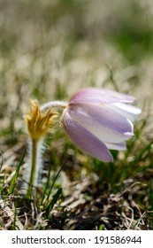 Anemone or Pulsatilla vernalis Spring