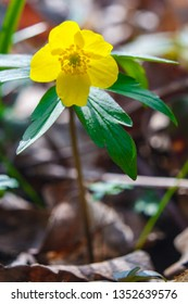 Anemone ranunculoides, the yellow anemone, yellow wood anemone or buttercup anemone