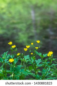 Anemone ranunculoides (yellow anemone, yellow wood anemone or buttercup anemone) growing in spring forest. Saturated summer yellow-green background