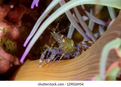 Anemone shrimp (Periclimenes sagittifer) in Tavira, Algarve, Portugal