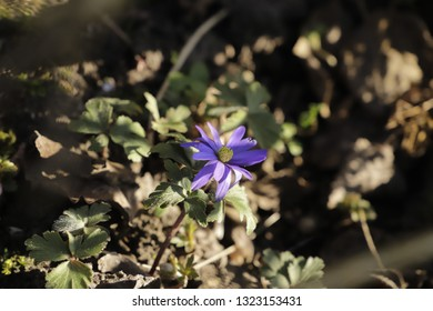 anemone a tiny blue flower which blooms in the spring